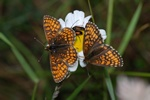 Heath Fritillary (Mellicta athalia)